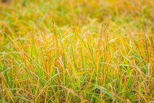 Yellow Dried Grass Photographed At Autumnal Day.