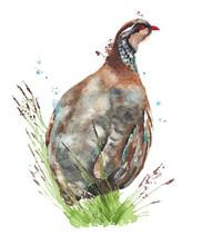 Bird Partridge Quail Watercolo...