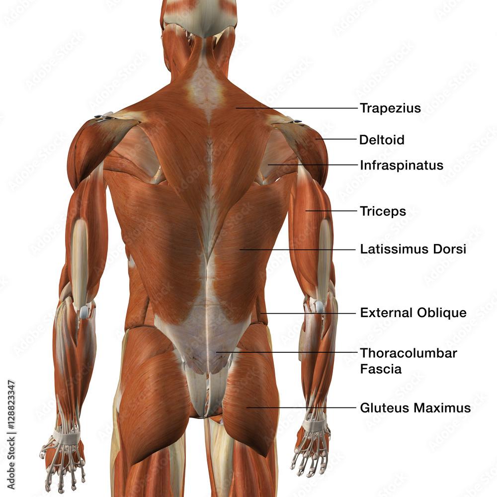 Male Back Muscle Chart Foto Poster Wandbilder Bei Europosters