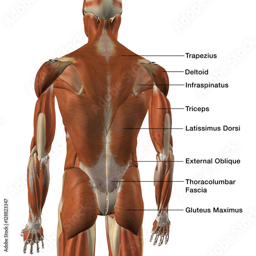 Male Back Muscle Chart - Buy this stock illustration and explore ...