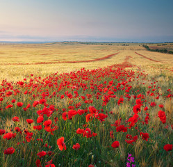 Obraz na Plexi Meadow of wheat and poppy.