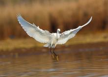 Little Egret (Egretta Garzetta) Landing