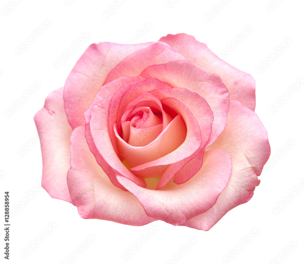 Fototapety, obrazy: gentle pink rose isolated