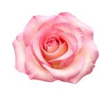 delikatna różowa róża na białym tle