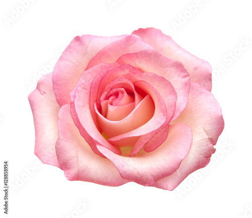 Keuken foto achterwand Roses gentle pink rose isolated