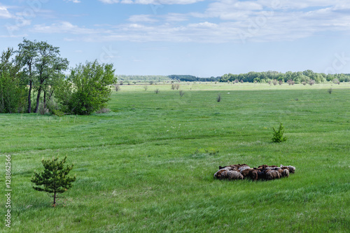 Herd of sheep on the field Tapéta, Fotótapéta