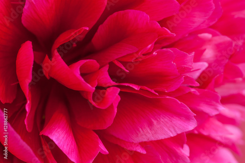 Floral Background Ruby Red Peony Flower Wallpaper