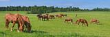 Fototapeta Konie - The Russian trotters herd in pasture.