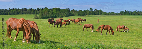The Russian trotters herd in pasture.