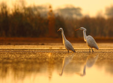 The Egrets Hunting At Sunrise