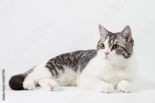 Keuken foto achterwand Kat Scottish Straight cat bi-color, spotted, sitting against white background, 6 months old.
