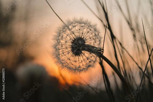 Poster Paardenbloem Pusteblume bei Sonnenuntergang