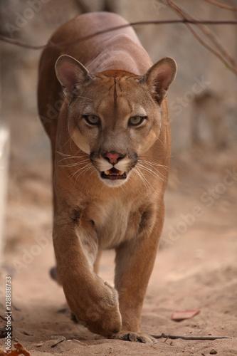 Garden Poster Puma Der Puma oder auch Berglöwe