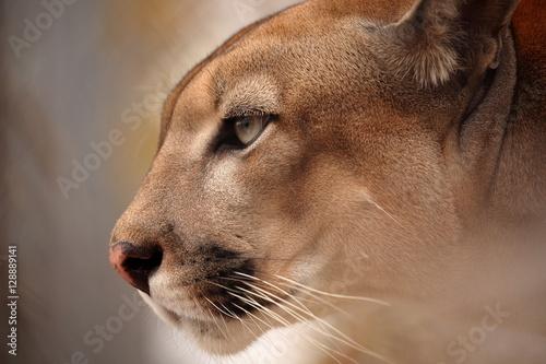 Staande foto Puma Der Puma oder auch Berglöwe