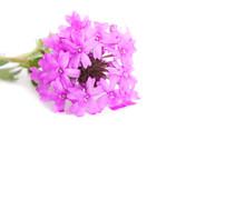 Purple Prairie Verbena On White, With Copy Space