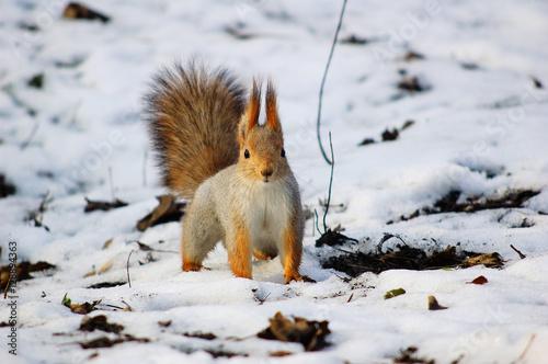 Tuinposter Eekhoorn red squirrel first snow