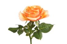 Peach Colored Rose