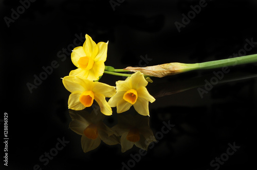 Papiers peints Narcisse Yellow Narcissus flowers on black