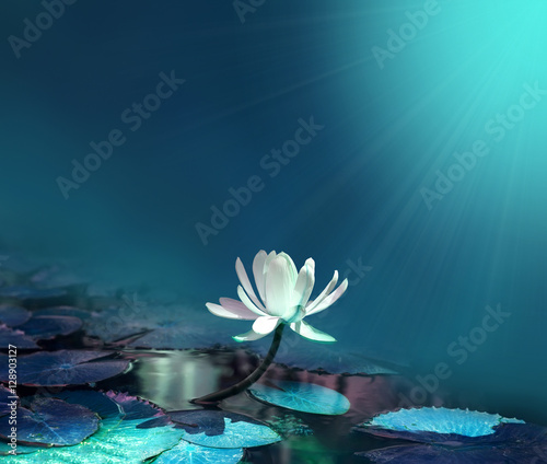 Poster de jardin Nénuphars water lily on blue pond background