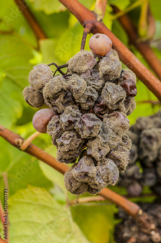 Fotografie, Obraz  Noble rot wine grape, grapes with mold, Botrytis, Sauternes