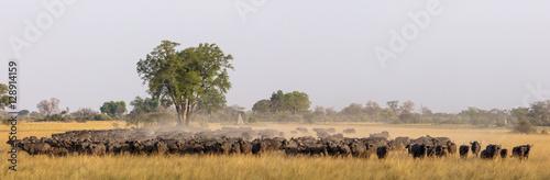 Foto op Plexiglas Buffel African buffalo or Cape buffalo (Syncerus caffer) herd. Okavango Delta. Botswana