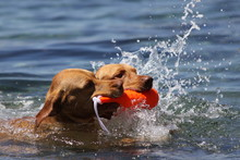 Two Dogs Retrieve Together From The Water