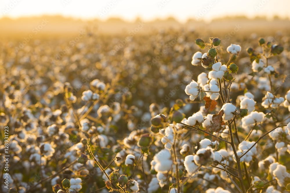 Fototapety, obrazy: Cotton field background ready for harvest under a golden sunset macro close ups of plants