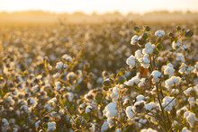 Cotton Field Background Ready ...