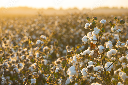 Canvas Prints Culture Cotton field background ready for harvest under a golden sunset macro close ups of plants