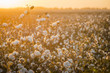 canvas print picture - Cotton field background ready for harvest under a golden sunset macro close ups of plants