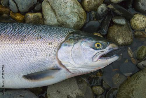 Fotobehang Fresh caught Alaskan Salmon