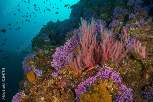 Red Gorgonian, and purple hydro coral