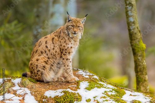 Photo sur Toile Lynx Eurasian Lynx lin forest habitat
