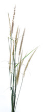 Flowering Stems Of Ornamental Fountain Grass Isolated On White B