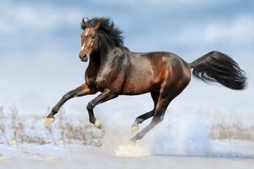 Bay horse run gallop in winter snow field