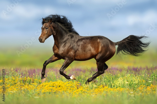 Fototapeta Bay stallion run gallop on flower pasture obraz