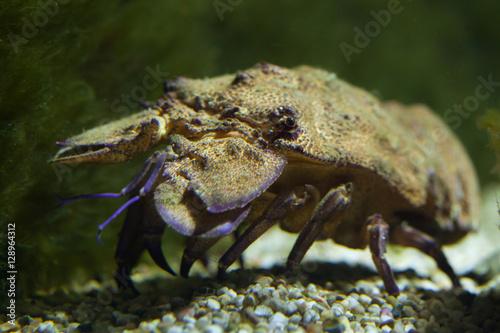 Mediterranean slipper lobster (Scyllarides latus)