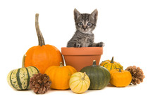 Pumpkins And A Flower Pot With A Tabby Baby Cat In It On A White Background