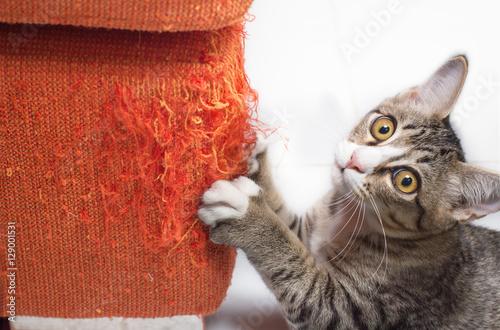 Foto op Aluminium Kat Kitten scratching fabric sofa