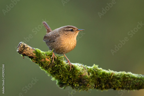 Fotomural Winter Wren