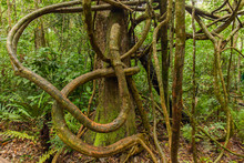 Tangled Lianas In The Tropical Forest