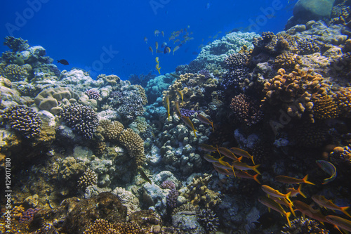 Papiers peints Sous-marin School of bright orange fishes over sunlit coral reef in the Red Sea, Egypt