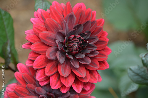 Pretty Blooming Red Dahlia Flower Blossom