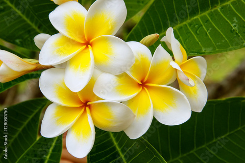 Poster Frangipani White and yellow plumeria flowers
