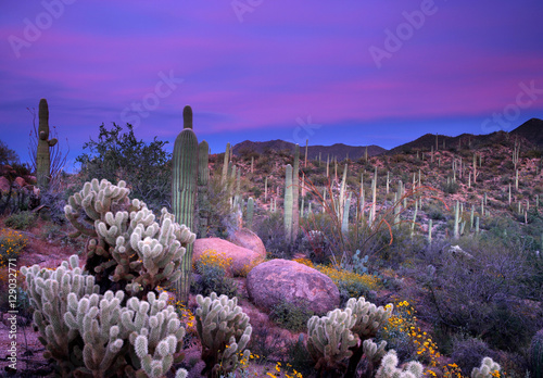 Photo Stands Arizona Saguaro Sunset