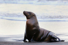 Galapagos Sea Lion On Santiago Island In Galapagos National Park
