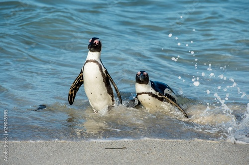 Tuinposter Pinguin African penguins walk out of the ocean on the sandy beach. African penguin ( Spheniscus demersus) also known as the jackass penguin and black-footed penguin. Boulders colony. Cape Town. South Africa