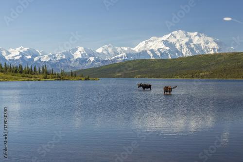 Two bull moose feeding in Wonder Lake with the Alaska Range in t Canvas Print