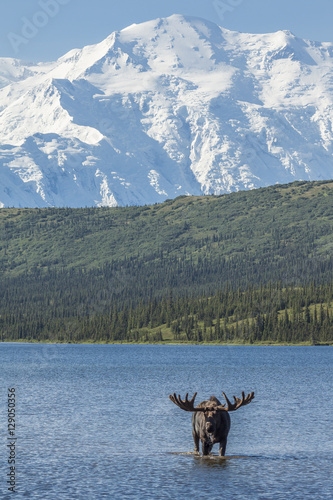 Photo  Bull moose feeding in Wonder Lake with Denali in the background,