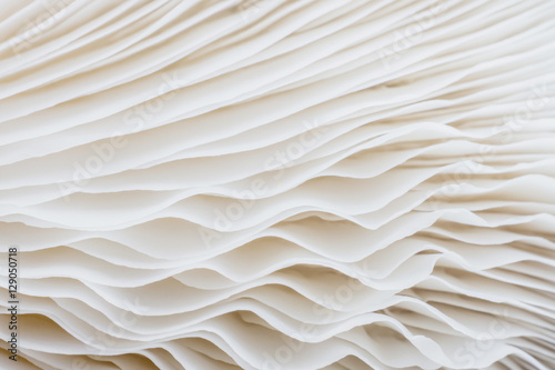 Wall Murals Macro photography abstract background macro image of mushroom, Sajor-caju mushroom